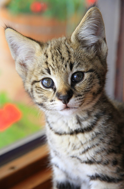 A Cute Savannah Kitten