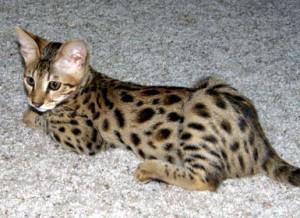 brown spotted tabby savannah cat