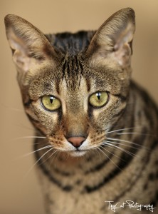 Savannah Cat colors - brown spotted tabby
