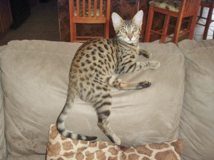 savannah cat F4 on a couch