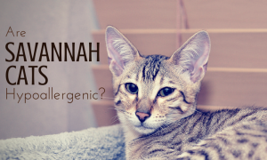Area Savannah Cats Hypoallergenic? We think not!