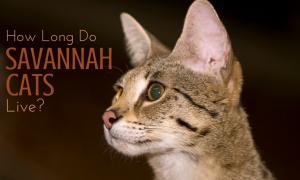 savannah cat lifespan