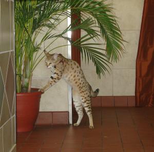savannah cats are not hypoallergenic