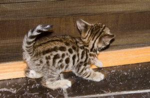 savannah kitten nutrition