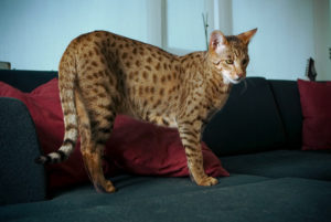 Savannah cat full body