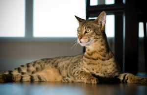 savannah cat nutrition