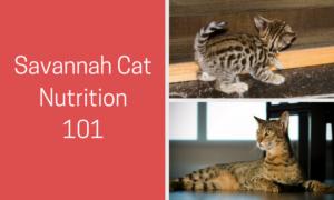 savannah cat nutrition 101