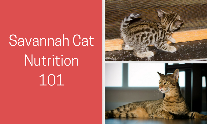 savannah cat nutrition 101