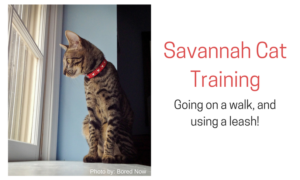 savannah cat training